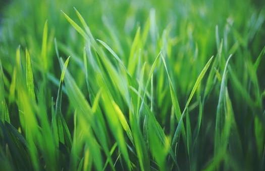 Fraiche herbe verte